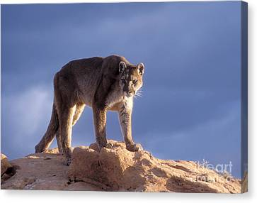 North American Wildlife Canvas Print - Surveying The Territory by Sandra Bronstein