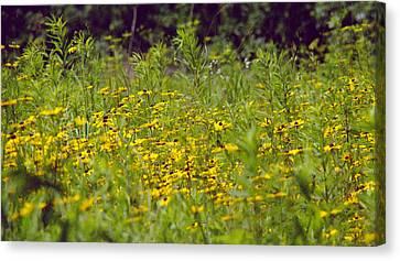 Susans In A Green Field Canvas Print
