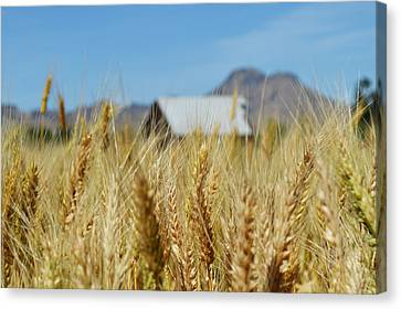 Sutter Buttes Wheat  Canvas Print by Pamela Patch