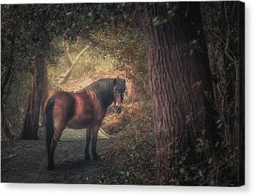 Sutton Pony Canvas Print by Chris Fletcher