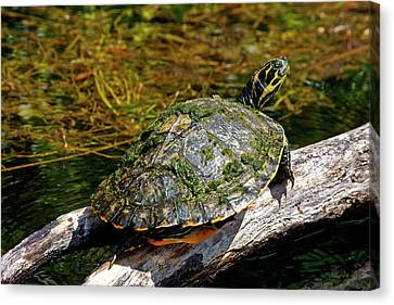 Dunnellon Canvas Print - Suwannee Cooter Turtle Portrait by Sally Weigand