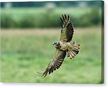 Bif Canvas Print - Swainson's Hawk - Grace by Jestephotography Ltd