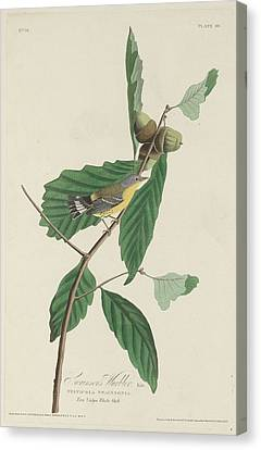 Swainson's Warbler Canvas Print