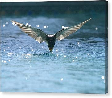 Swallow Drinks From Pool Canvas Print by Bryan Allen