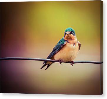 Canvas Print featuring the photograph Swallow by Mary Hone