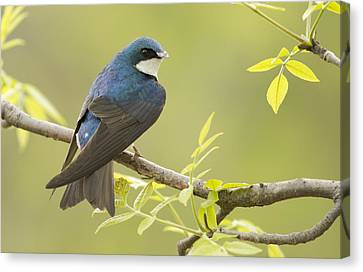 Swallow Canvas Print by Mircea Costina Photography