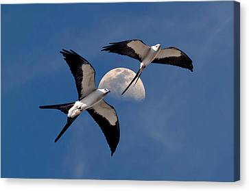 Swallow Tail Kites In Flight Under Moon Canvas Print by Justin Kelefas