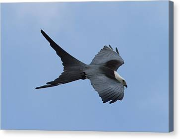 Swallow-tailed Kite #1 Canvas Print by Paul Rebmann