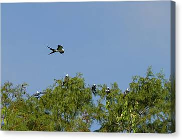 Swallow-tailed Kite Flyover Canvas Print by Paul Rebmann