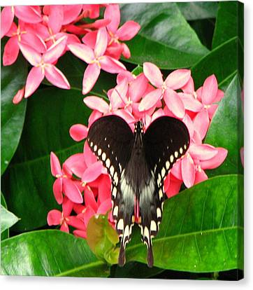 Swallow-wing Butterfly Canvas Print