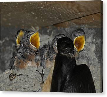 Swallows Opera  Canvas Print by Ernie Echols