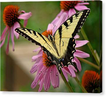 Swallowtail 1 Tn Canvas Print