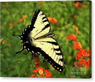 Swallowtail Among Lantana Canvas Print by Sue Melvin