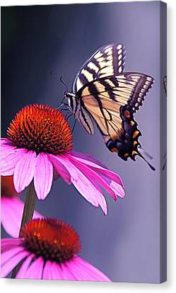 Canvas Print featuring the photograph Swallowtail And Coneflower by Byron Varvarigos