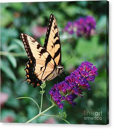 Swallowtail Butterfly 1 Canvas Print by Sue Melvin