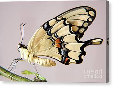 Swallowtail Butterfly Canvas Print by Julia Hiebaum