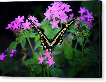 Swallowtail Butterfly Rests On Pink Flowers Canvas Print by Toni Hopper