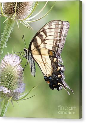 Swallowtail Delight Canvas Print by Anita Oakley
