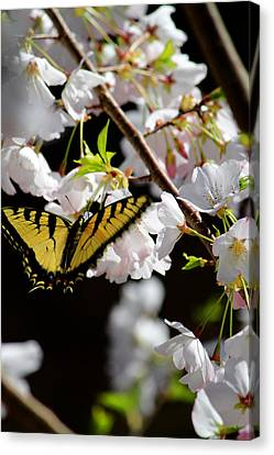 Swallowtail Canvas Print by Nathan Grisham
