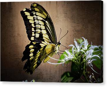 Swallowtail Canvas Print by Saija  Lehtonen