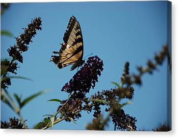 Swallowtail Canvas Print by William Thomas