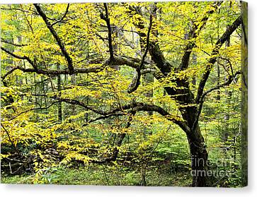 Swamp Birch In Autumn Canvas Print by Thomas R Fletcher