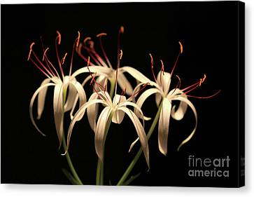 Swamp Lily Canvas Print by Meg Rousher