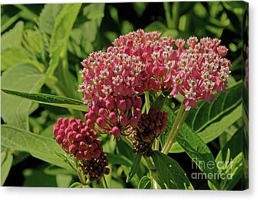 Canvas Print - Swamp Milkweed by Natural Focal Point Photography