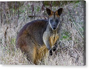 Canvas Print featuring the photograph Swamp Wallaby  by Miroslava Jurcik
