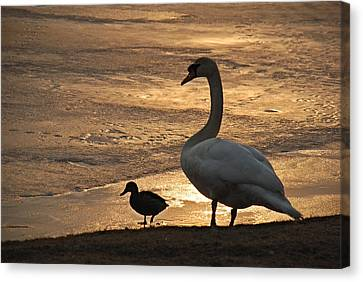 Canvas Print featuring the photograph Swan And Baby At Sunset by Richard Bryce and Family