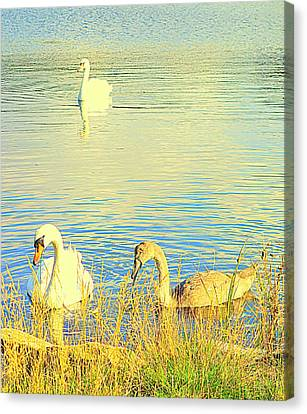 The Happy Swan Family Is Floating Into Your Heart     Canvas Print by Hilde Widerberg