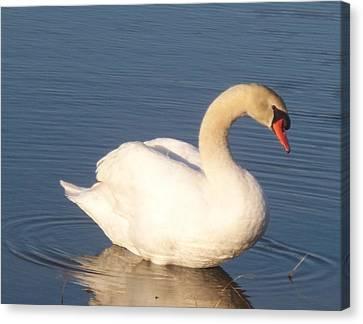 Swan  Canvas Print by Eric  Schiabor