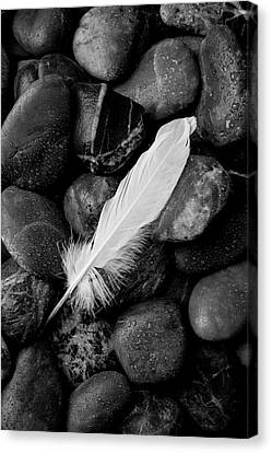 Swan Feather Black And White Canvas Print