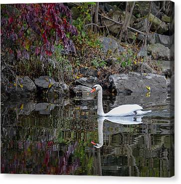 Swan In Autumn Reflections Canvas Print