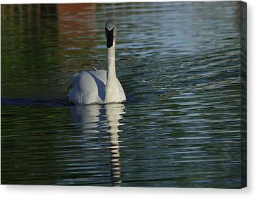 Swan In Calm Waters Canvas Print