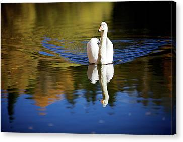 Swan In Color Canvas Print