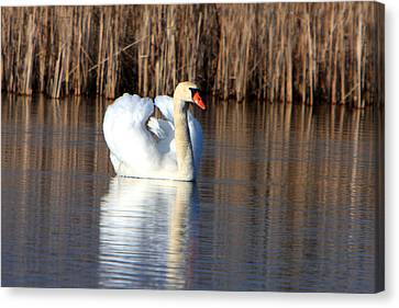 Swan In Marsh Canvas Print by Dave Clark