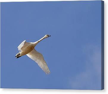 Flying Swan Canvas Print - Tundra Swan  by Jean Noren