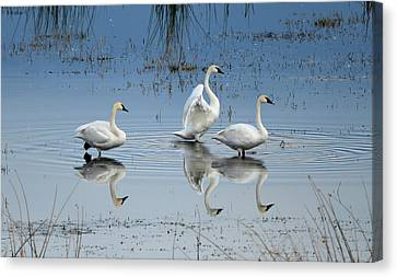Swan Lake Canvas Print