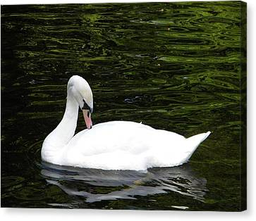 Canvas Print featuring the photograph Swan May by Manuela Constantin