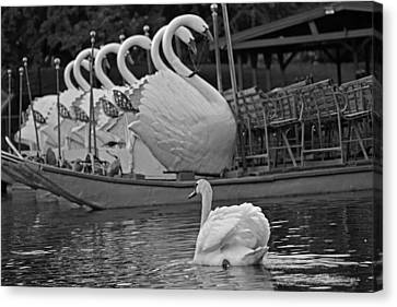 Swan Meeting Up With Some Friends Black And White Canvas Print