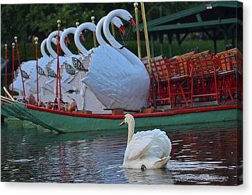 Swan Meeting Up With Some Friends Canvas Print by Toby McGuire