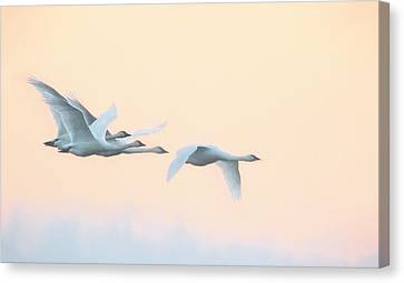 Canvas Print featuring the photograph Swan Migration  by Kelly Marquardt