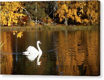 Swan On A Lake Canvas Print