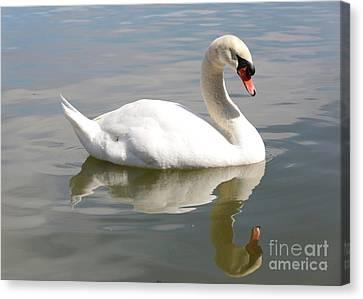 Glassy Wing Canvas Print - Swan Reflecting by Carol Groenen