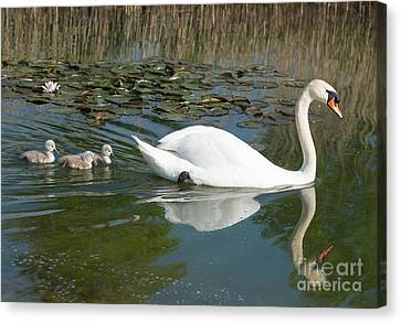 Swan Scenic Canvas Print