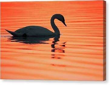 Swan Silhouette Canvas Print by Roeselien Raimond