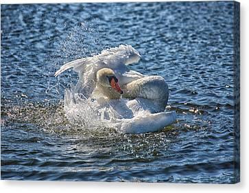 Swan Splish Splash Canvas Print by Christine Martin-Lizzul