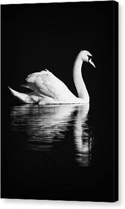 Swan Swimming Canvas Print