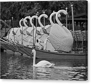 Swan Swimming Up With Some Friends Black And White Canvas Print